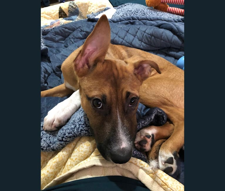 Photo of Zephyr, an American Pit Bull Terrier and German Shepherd Dog mix in Levittown, Pennsylvania, USA