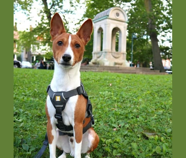 Photo of Maru, a Basenji  in Toronto, Ontario, Canada