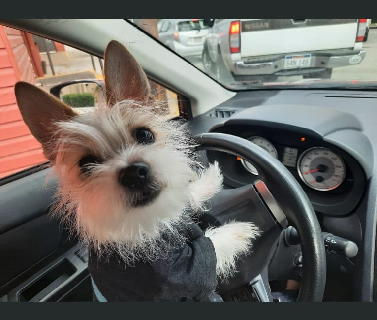 Photo of Tucker, a Chihuahua, Maltese, Shih Tzu, and Lhasa Apso mix in Sissonville, West Virginia, USA