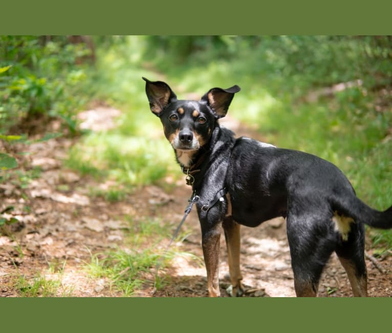 Photo of Remy, a Rat Terrier, Australian Cattle Dog, Dachshund, and Mixed mix in Morton Grove, IL, USA
