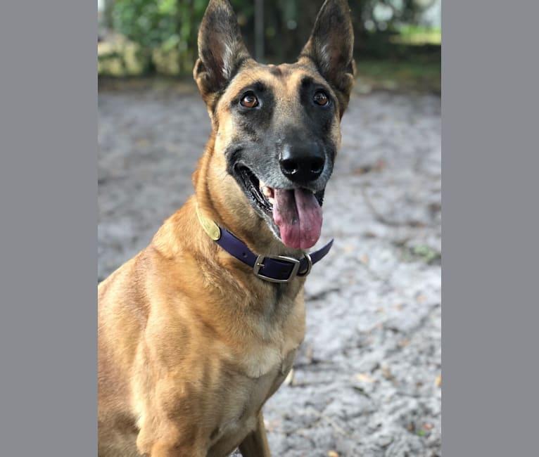 Photo of Coco, a Belgian Malinois and Dutch Shepherd mix in Miami, Florida, USA