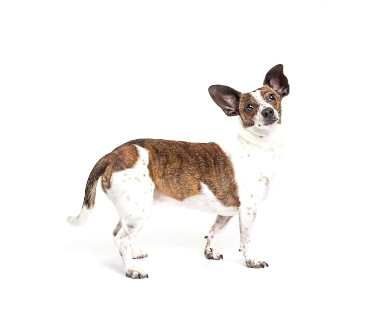 Photo of Bubbie, a Rat Terrier, Dachshund, Pomeranian, Australian Cattle Dog, and Russell-type Terrier mix in Overland Park, Kansas, USA