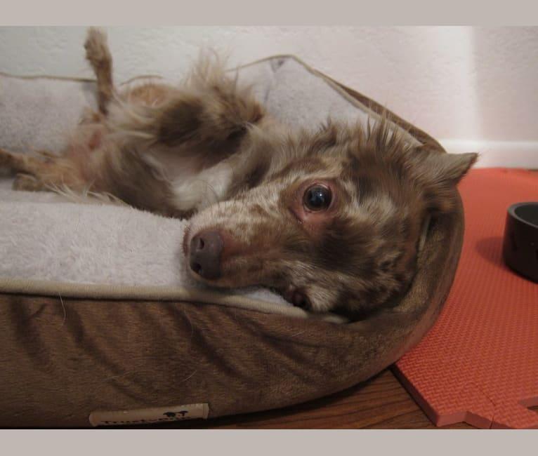 Photo of Cody, a Chihuahua  in Franklinton, LA, USA
