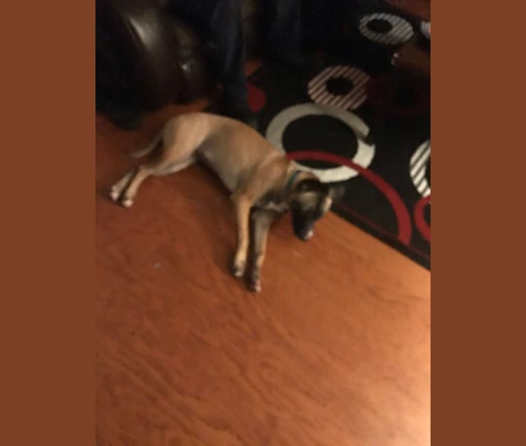 Photo of Zira, an American Pit Bull Terrier, German Shepherd Dog, American Staffordshire Terrier, and Mixed mix in Memphis, Tennessee, USA