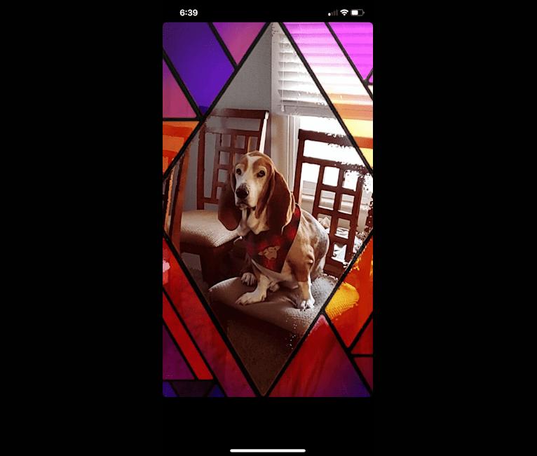 Photo of Bruce, a Basset Hound  in Salt Lake City, Utah, USA