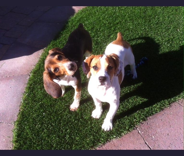 Photo of Morgan Jean, a Beagle  in Goodman, Missouri, USA