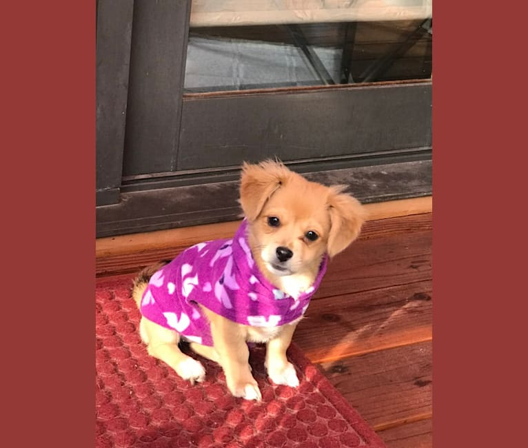 Photo of Abigail, a Poodle (Small), Chihuahua, and Mixed mix in Sacramento, California, USA