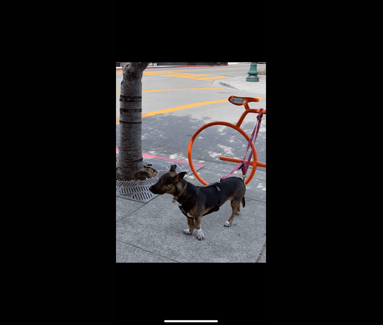 Photo of Roscoe, an American Bully, German Shepherd Dog, and American Staffordshire Terrier mix in Berkeley, California, USA