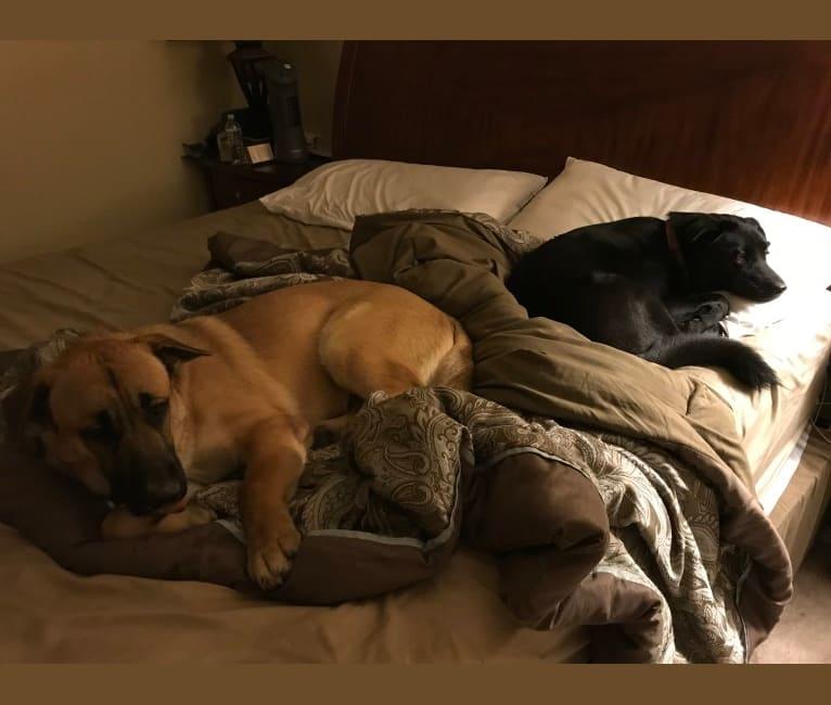Photo of Luna, a Siberian Husky, Labrador Retriever, Chow Chow, and Boxer mix