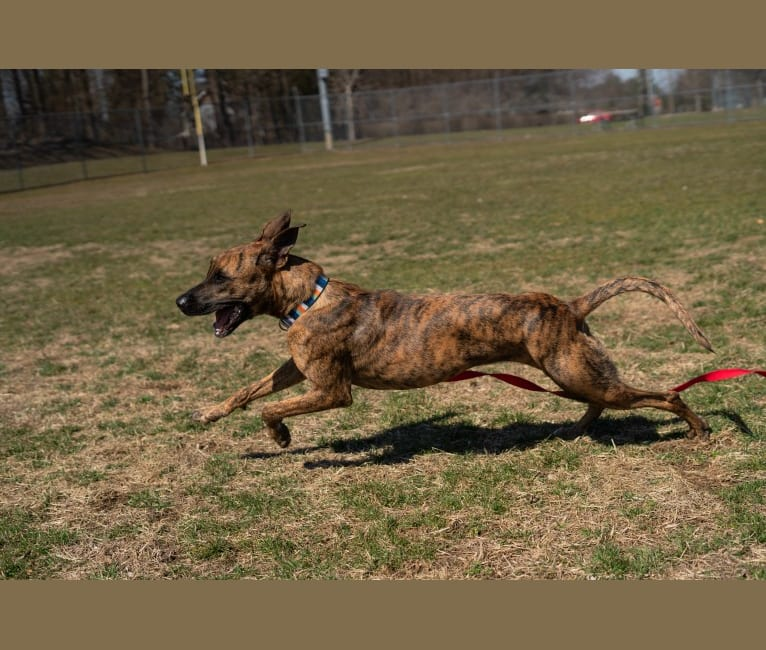 Photo of Lady Lulu, a Belgian Malinois and Boxer mix in New York, New York, USA