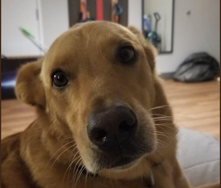 Photo of Cornbread, an American Pit Bull Terrier, Chow Chow, Cocker Spaniel, Australian Shepherd, and Mixed mix in Texas, USA
