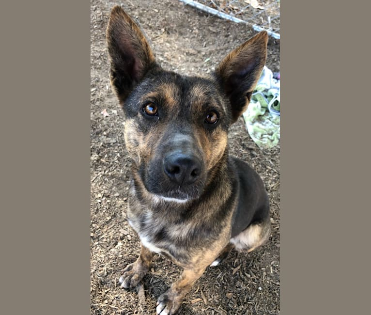 Photo of Saké, a German Shepherd Dog and American Pit Bull Terrier mix in Cullowhee, North Carolina, USA