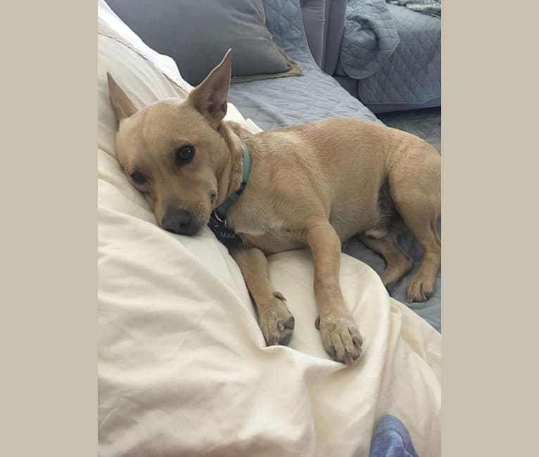 Photo of Maxwell, a Chihuahua, Poodle (Small), and Mixed mix in Phoenix, AZ, USA