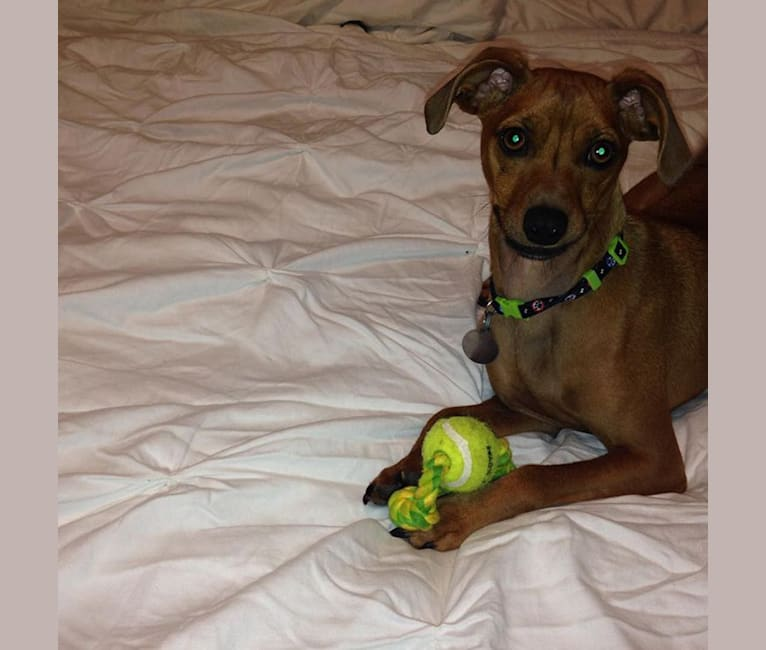 Photo of Preston, a Miniature Pinscher, Dachshund, and Pomeranian mix in Athens, Alabama, USA