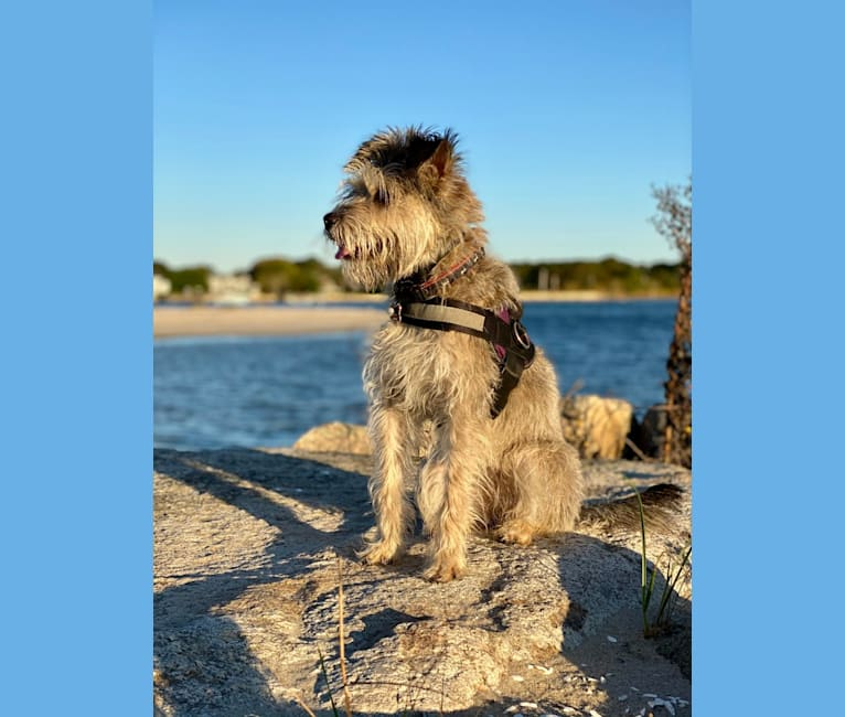 Photo of Abbey, a Miniature Schnauzer, Poodle (Small), and Beagle mix in Houston, TX, USA