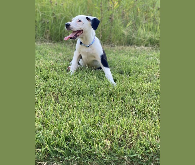 Photo of Dip'n'Dots, an Australian Shepherd, Australian Cattle Dog, American Pit Bull Terrier, and Mixed mix in Allen, Texas, USA