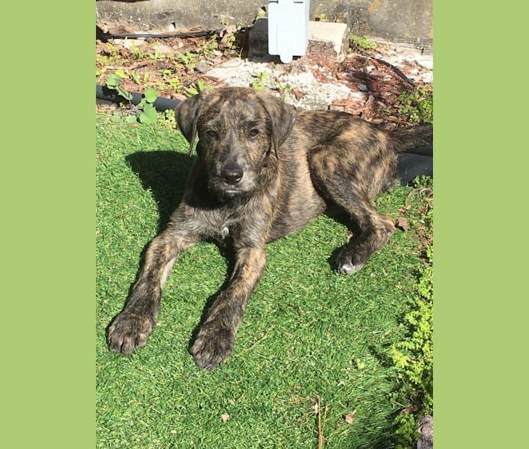 Photo of Winston, a Poodle (Standard), Golden Retriever, and Bulldog mix in Orlando, Florida, USA