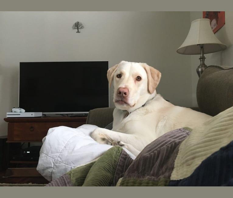Photo of Roman, a Labrador Retriever, Chow Chow, and German Shepherd Dog mix