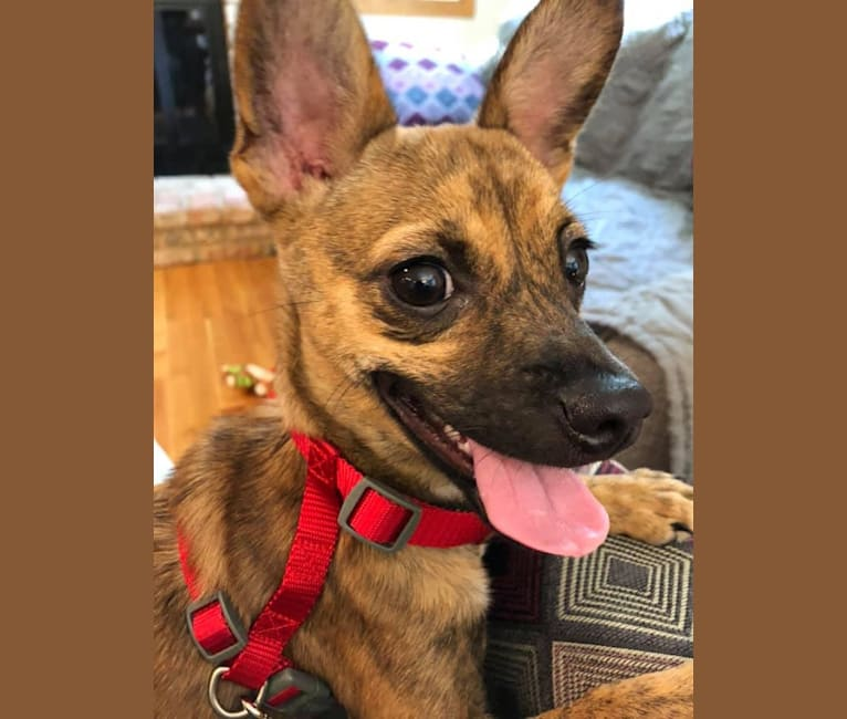 Photo of Ruthie, a Rat Terrier, Chihuahua, Poodle (Small), and Mixed mix in Minnesota, USA