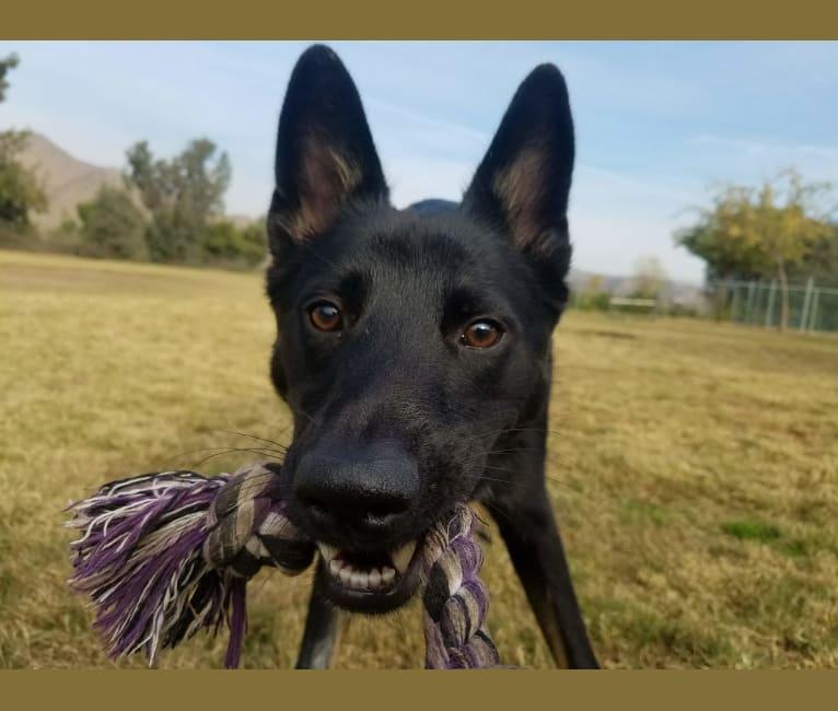 Photo of Winston, a German Shepherd Dog, Australian Cattle Dog, and Australian Shepherd mix in Corona, California, USA