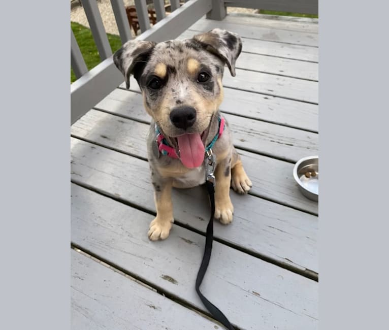 Photo of Zoey, an American Pit Bull Terrier, Australian Shepherd, Siberian Husky, and American Staffordshire Terrier mix in South Carolina, USA