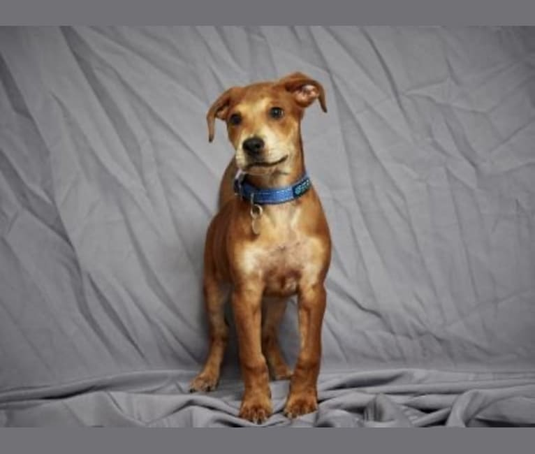Photo of Cooper, an American Pit Bull Terrier, Boxer, Golden Retriever, and Rottweiler mix