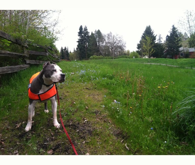 Photo of Linda, an American Staffordshire Terrier  in Fairbanks, Alaska, USA