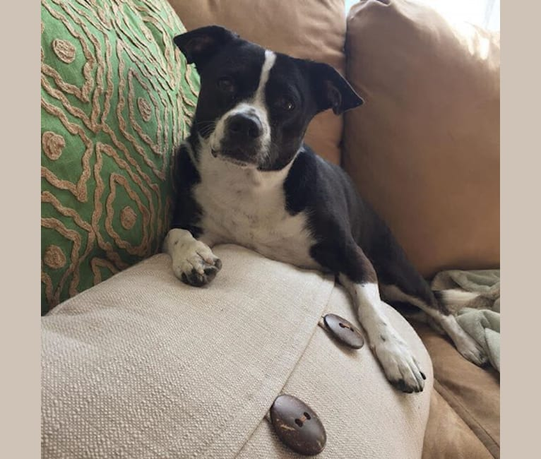 Photo of Milly, an American Pit Bull Terrier, Chihuahua, Russell-type Terrier, Shih Tzu, Pomeranian, and Maltese mix