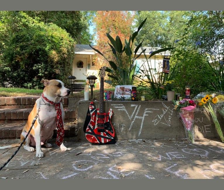 Photo of Biggie, an American Pit Bull Terrier, Australian Cattle Dog, and German Shepherd Dog mix in Pasadena, California, USA