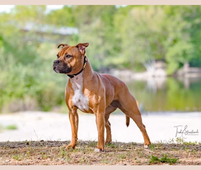 Photo of Tesseract, a Staffordshire Bull Terrier  in Grass Valley, CA, USA
