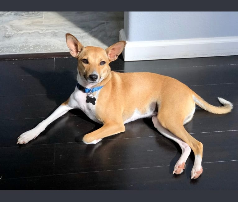 Photo of Bruno, a Basenji, American Pit Bull Terrier, and Mixed mix in Hawaii, USA