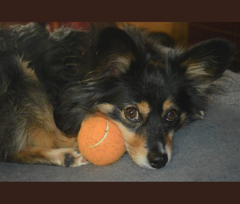 Photo of Scamp (a.k.a. Skamp), an Australian Shepherd Group  in Washington, USA