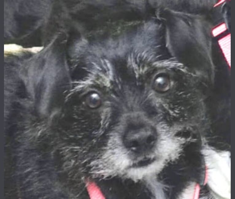 Photo of Marcy, a Chihuahua, Cocker Spaniel, Yorkshire Terrier, and Beagle mix in Rutherfordton, NC, USA