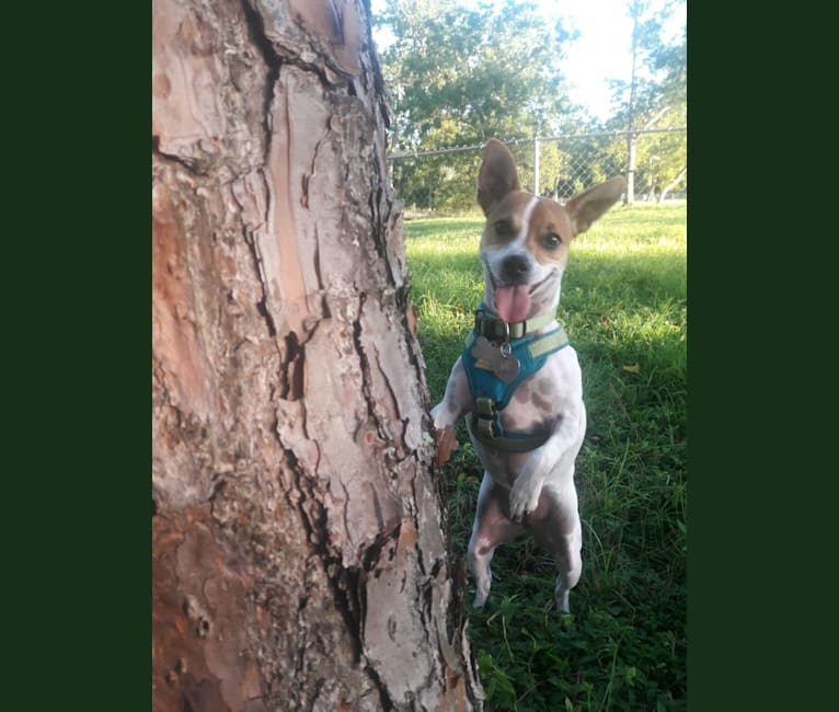"""Photo of Anastasia """"Annie"""" Betesh, a Chihuahua, Yorkshire Terrier, Rat Terrier, Shih Tzu, and Mixed mix in Miami, Florida, USA"""