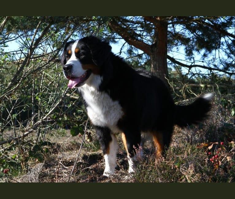 Photo of Lexi, a Bernese Mountain Dog  in Kootwijk, Gelderland, Nederland