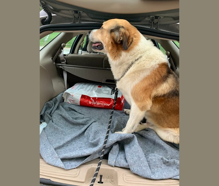 Photo of Cujo, a Great Pyrenees, Rottweiler, and Beagle mix in Galax, Virginia, USA