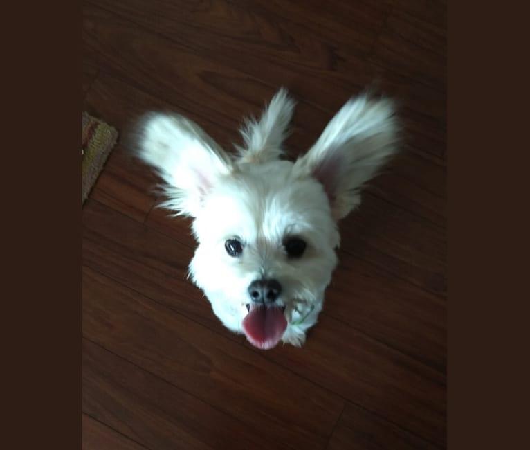 Photo of JoJo, a Poodle (Small), Pomeranian, Chihuahua, and Maltese mix in Sacramento, California, USA