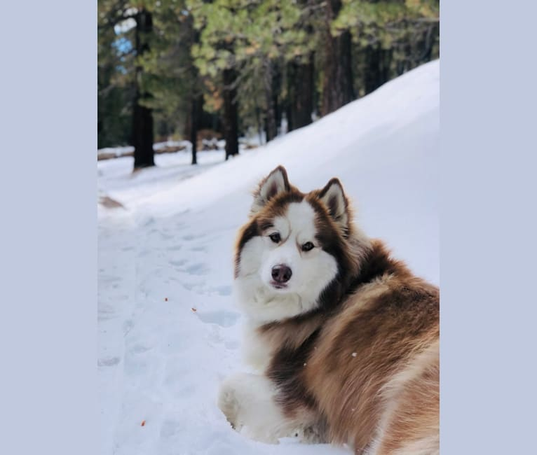 Photo of Maizy, a Siberian Husky and Alaskan Malamute mix in Simi Valley, California, USA
