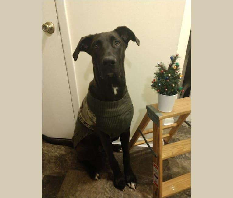 Photo of Marshall, a Saint Bernard, Great Dane, German Shepherd Dog, Labrador Retriever, and Poodle (Standard) mix in Caledonia, Ohio, USA