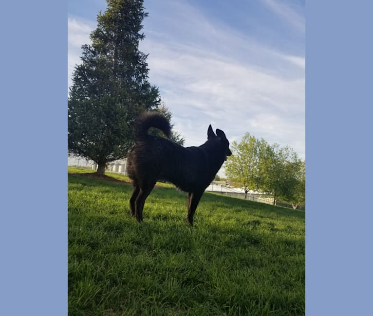 Photo of Brooklyn, a Chow Chow, Rottweiler, Poodle (Small), Russell-type Terrier, and Treeing Walker Coonhound mix in Boise, Idaho, USA