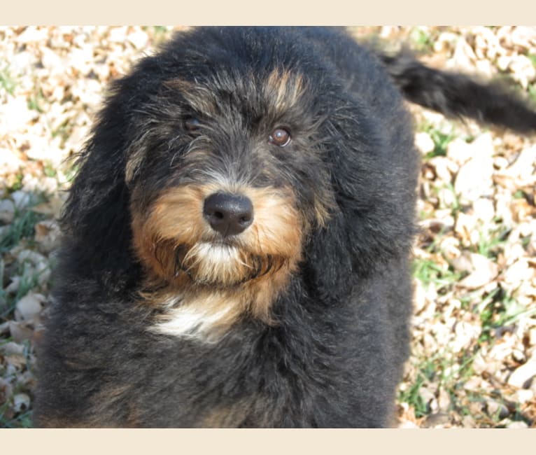 Photo of Bonnie, a Bernedoodle  in Le Center, MN, USA