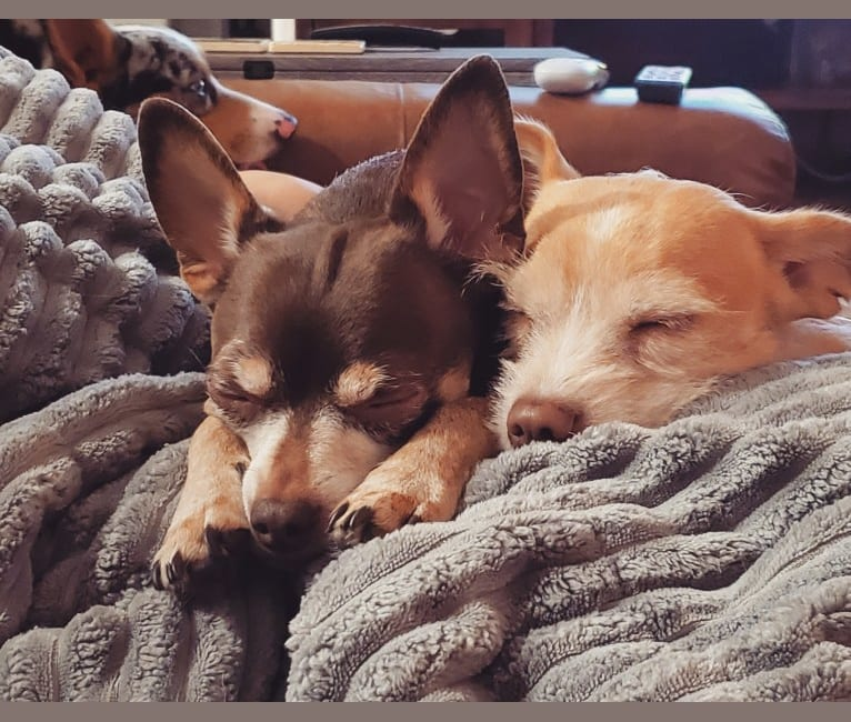 Photo of Loki, a Chihuahua, Toy Fox Terrier, and Miniature Pinscher mix in Oak Point, Texas, USA