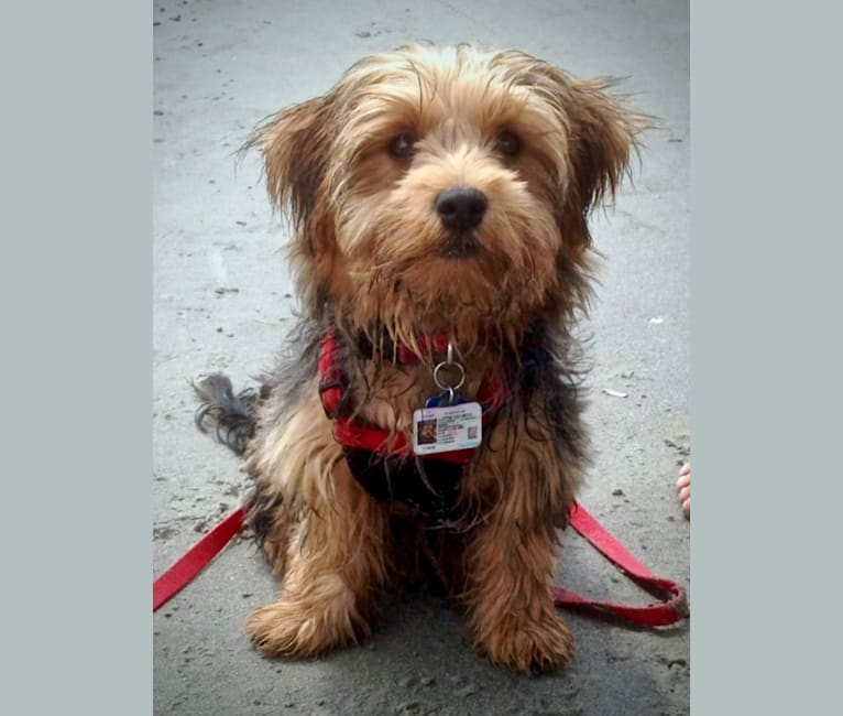 Photo of Maxx, a Yorkshire Terrier, Bichon Frise, and Maltese mix