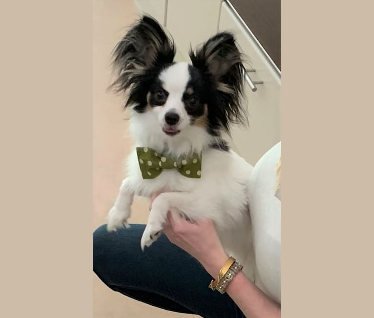 Photo of Patton, a Papillon  in St Joseph, MO, USA