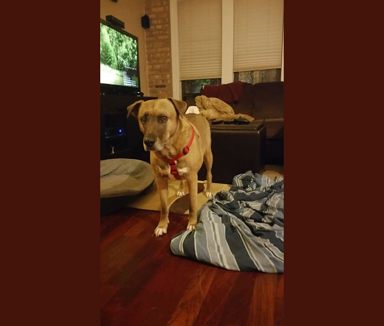 Photo of Vincent, an American Pit Bull Terrier, Siberian Husky, Labrador Retriever, and American Staffordshire Terrier mix in Michigan, USA