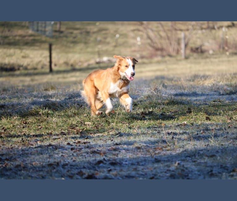 Photo of Ravine, an English Shepherd  in Wyoming, USA
