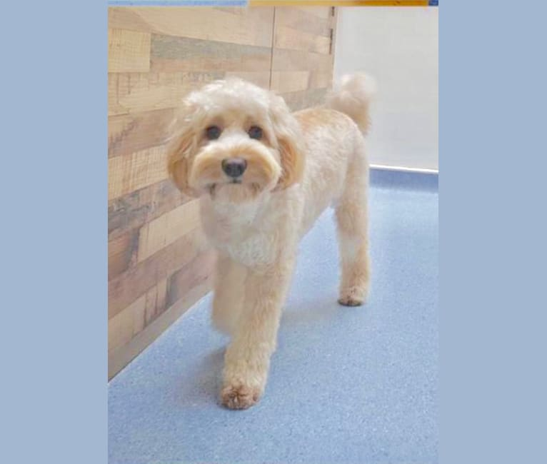 Photo of Lulu, a Poodle (Small) and Poodle (Standard) mix in Australia