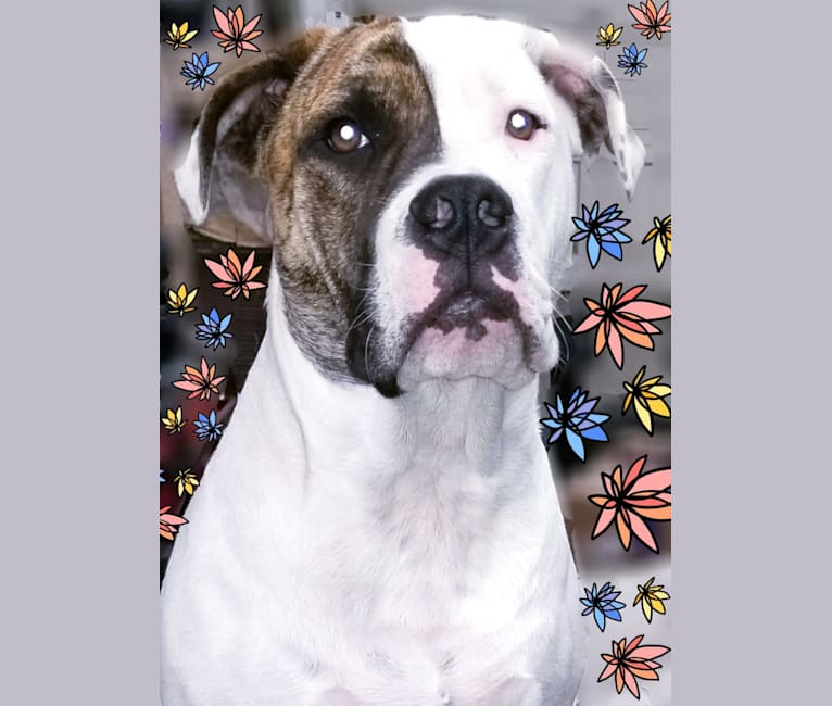 Photo of Zeus, a Bulldog and American Pit Bull Terrier mix in Texas, USA