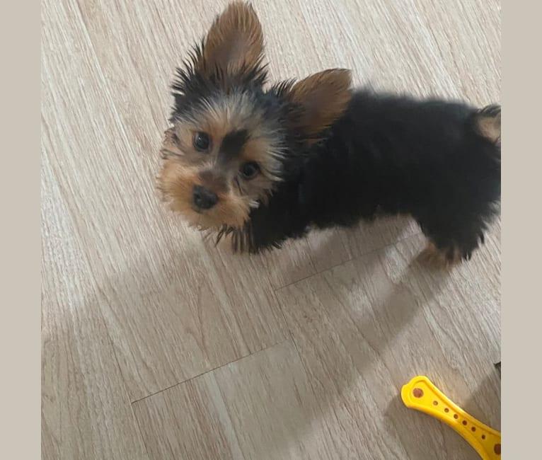 Photo of Oliver, a Silky Terrier  in Verona, Missouri, EE. UU.