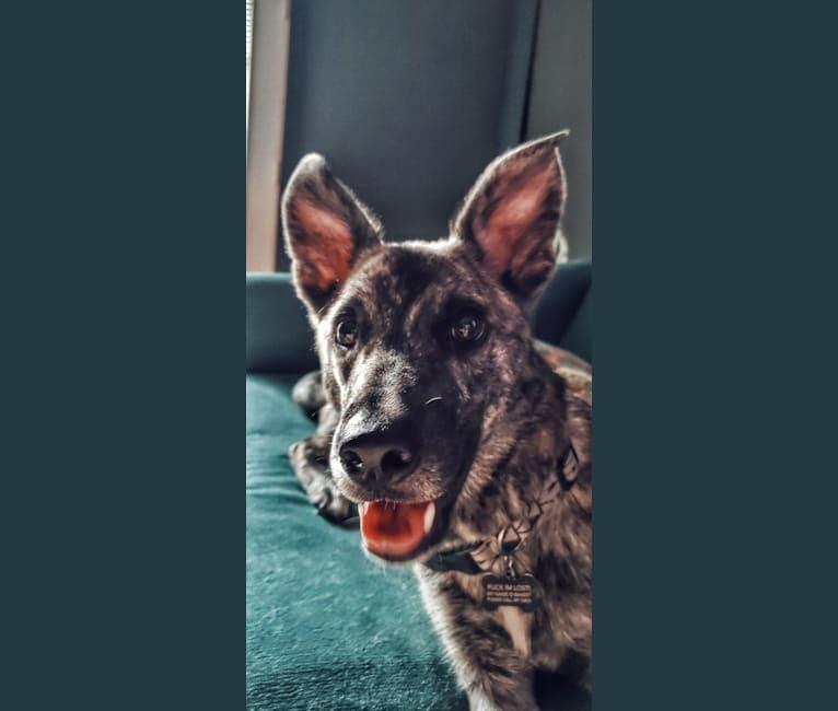 Photo of Bandit, a German Shepherd Dog, Soft Coated Wheaten Terrier, Siberian Husky, and Mixed mix in Little Rock, Arkansas, USA